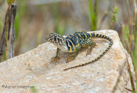 Eastern Collared Lizard hatchling - St. Francois Co., MO