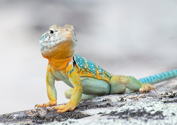 Eastern Collared Lizard -Baxter/Izard Co., AR