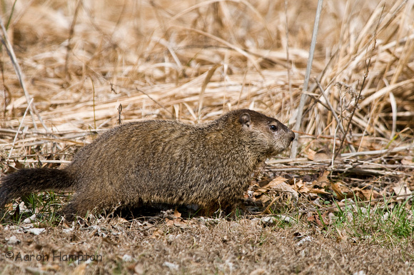 Woodchuck - St. Francois State Park, MO