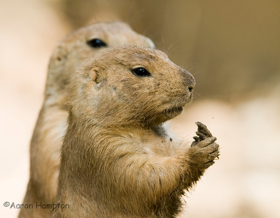 Prairie Dogs - Scovill Zoo, Decatur, IL