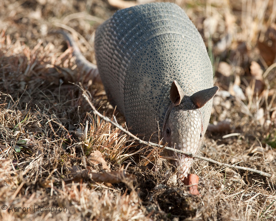 Armadillo - St. Francois State Park, MO